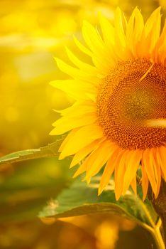 Beautiful Sunflower in Field
