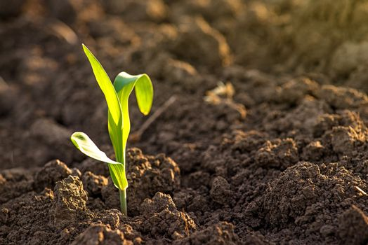 Growing Corn Seedling Sprouts in Agricultural Farm Field