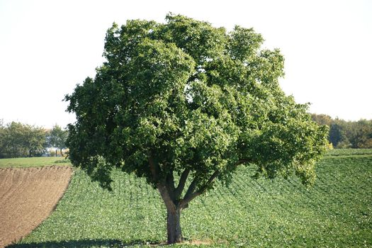 An old deciduous trees, oak, standing on a box with forage crops.