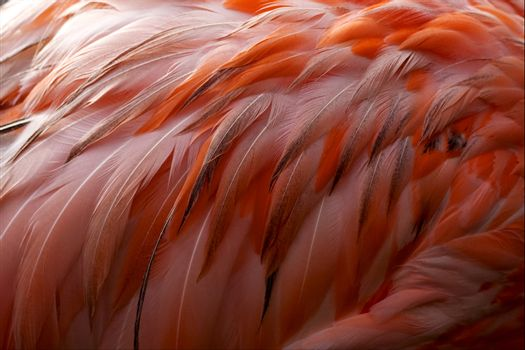 pink flamengo   plumage  abstract