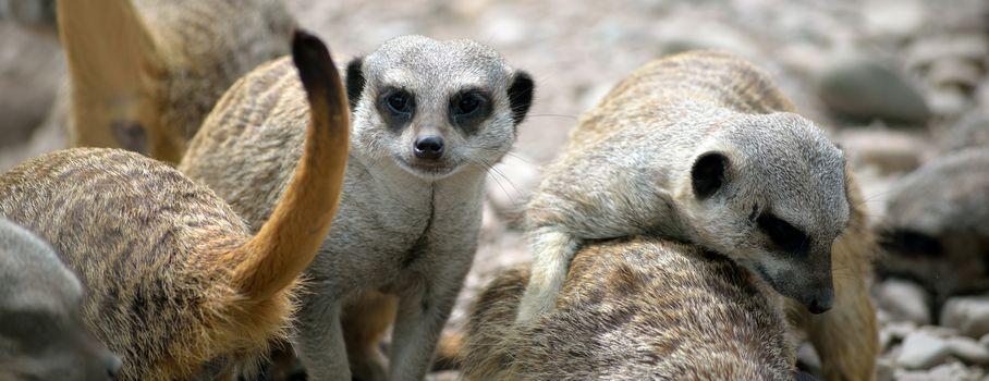 meerkats in fota wildlife park near cobh county cork ireland