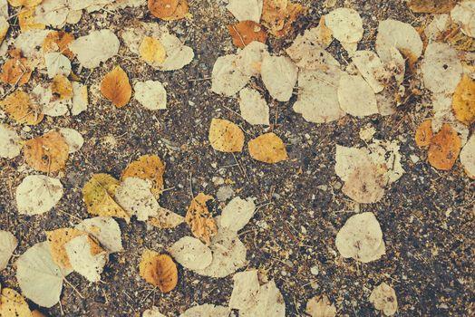 Fallen autumn dry birch leaves