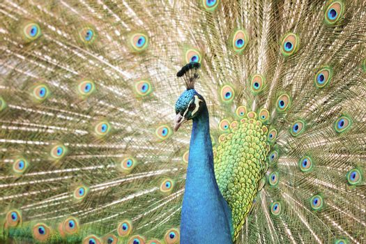 Peacock With Tail Extended