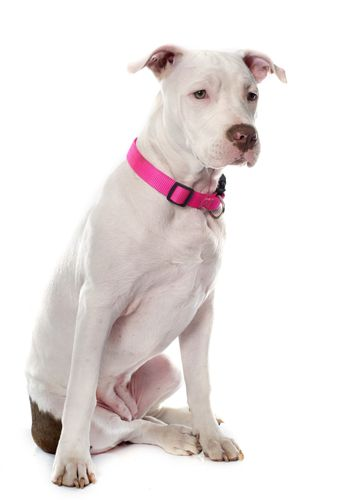 young pitbull terrier
