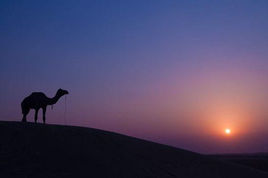 Desert landscape with camel at sunset in India desert.