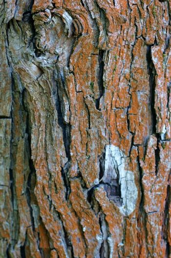 The close-up of bark of a deciduous tree with a distinctive pattern and moss in the bark.