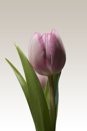 The macro closeup of an isolated tulip in the profile.