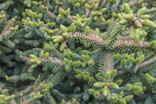 Fir-tree branch with conifers in forest.
