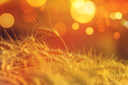 Wheat crops with bokeh light