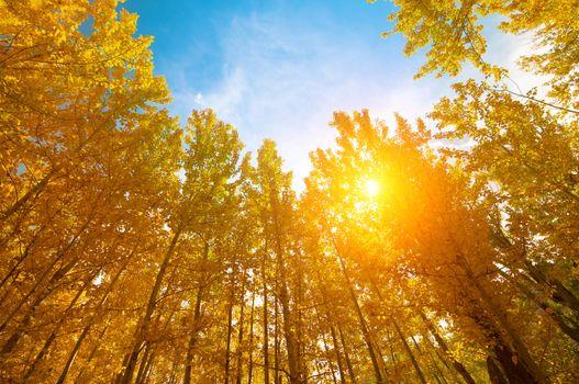 Aspen Trees in autumn seasons