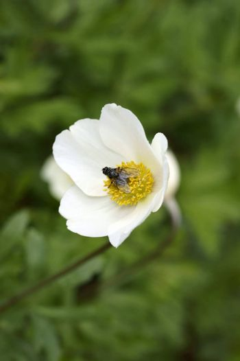 A fly sits in the open flower and the pollen of a Anemone.