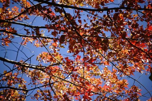 Orange and red leaves of the red maple tree at the beginning of autumn.