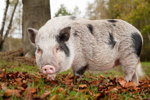 Pig in the autumn