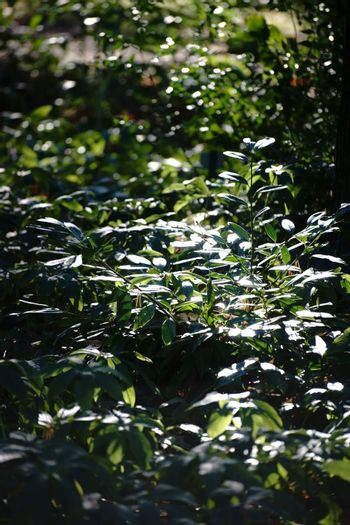 By weak sunlight illuminated plants, rhododendron, in the undergrowth.