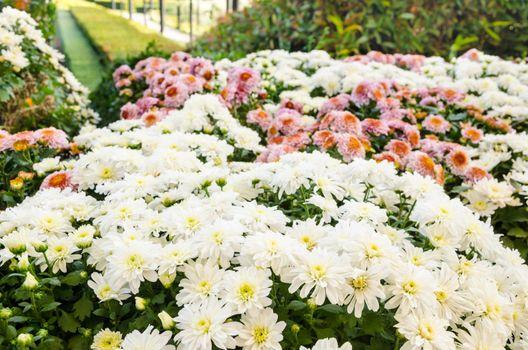 mum flower in garden.