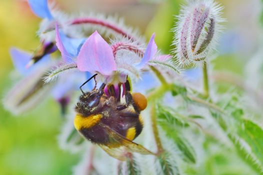 Bumble Bee and Borage Flowers.