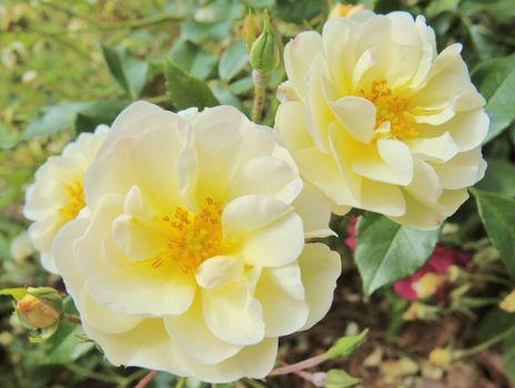 Miniature Roses.