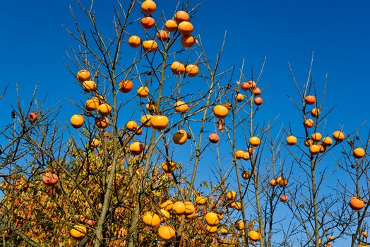 Plants of persimmon in a day of autumn