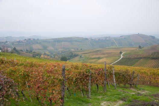 Wonderful vineyards in Barbaresco piemnto with fog