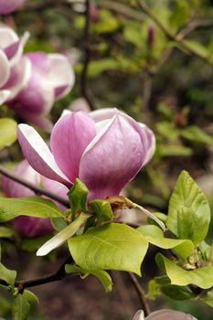 The macro closeup of a pink magnolia blossom.