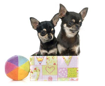 purebred puppies chihuahua
