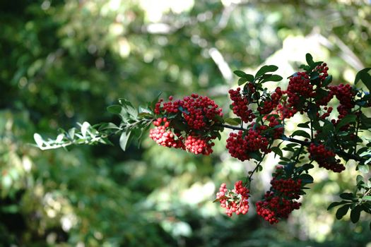 The ripe red berries and grape-like fruit clusters of the Firethorn shrub.