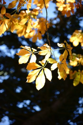 The yellowish translucent leaves of a chestnut tree in autumn, Aesculus flava.
