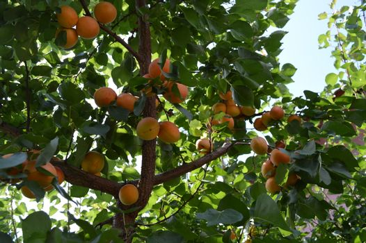 Apricots tree branch with ripe juicy fruits