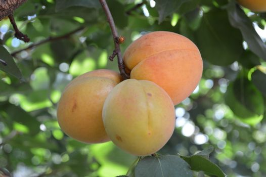 Apricot tree branch with ripe juicy fruits