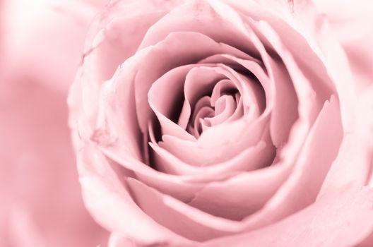 Soft focus close up center pink rose.
