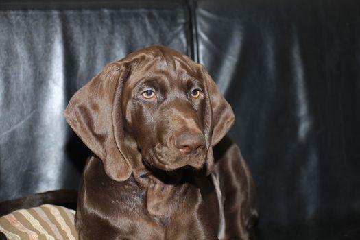 German Shorthaired pointer puppy, female, 13 weeks