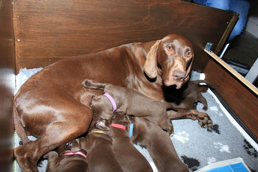 German shorthaired pointer puppies, 20 days old, solid liver