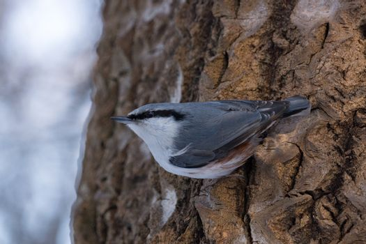 The photo depicts a nuthatch on tree