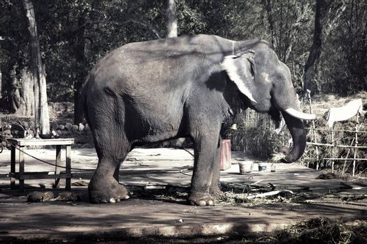 Big wounded Indian elephant in the resort. Animal with broken ivories