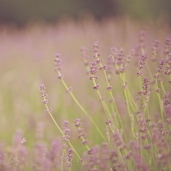 Lavender Flowers Spring season