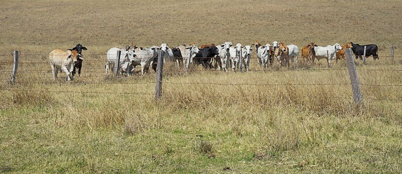 Barb wire fences restrain cows in a paddock in rural Australia
