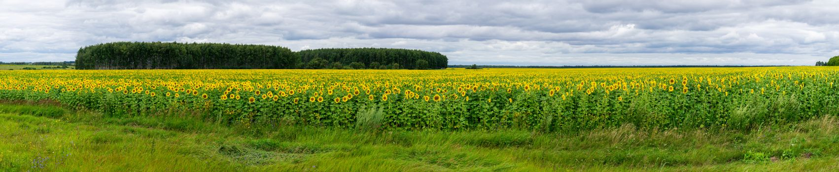 The photo shows a field of sunflowers