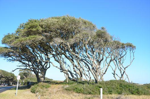 Wind blown tree on the coast of North Carolina
