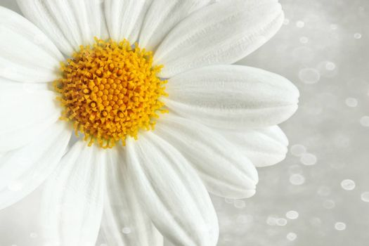White daisy against a soft blur background