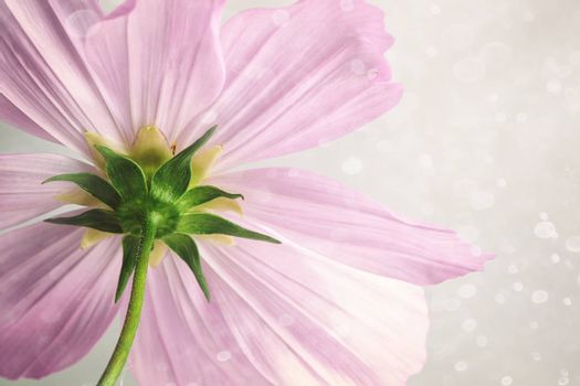Closeup of pink cosmos flower with soft blur background