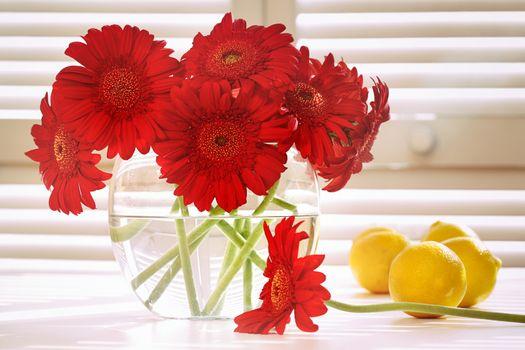 Fresh gerbera daisy in on table in front of window