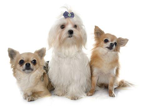 chihuahuas and maltese dog
