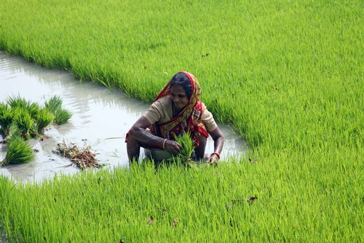 Rural woman working in rice plantation in Bosonti, West Bengal, India on January 17, 2009.