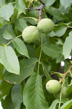 Unripe green walnut, tree and fruits, close up image.