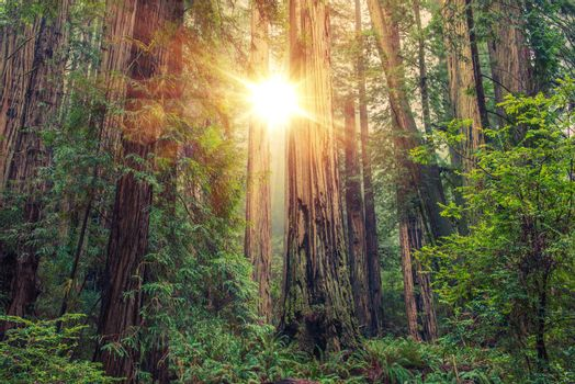 Sunny Redwood Forest