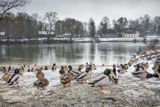 Ducks at river Danube in winter