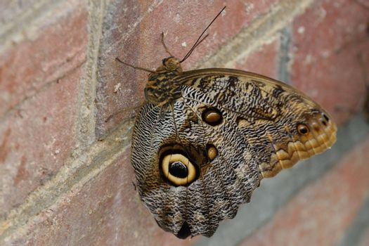 Brown Butterfly resting on Wall