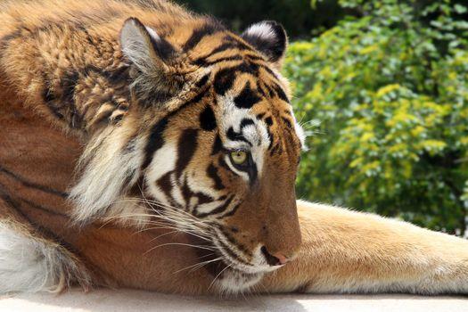 Sad Tiger lying on the grass