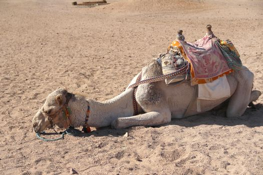 Tired Camel lying on the sand
