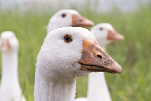 The head of a goose
